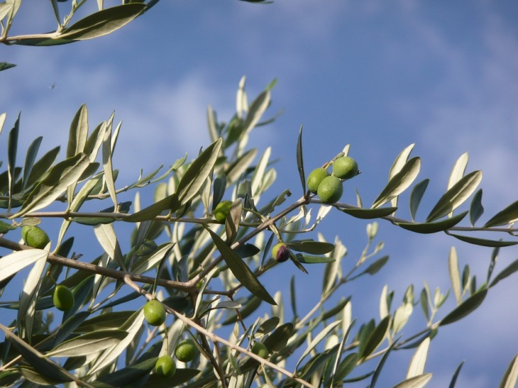 olive-tree-